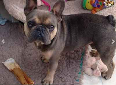 Stud Dog Blue Sable Tan Points Tri Colour Carrier Breed