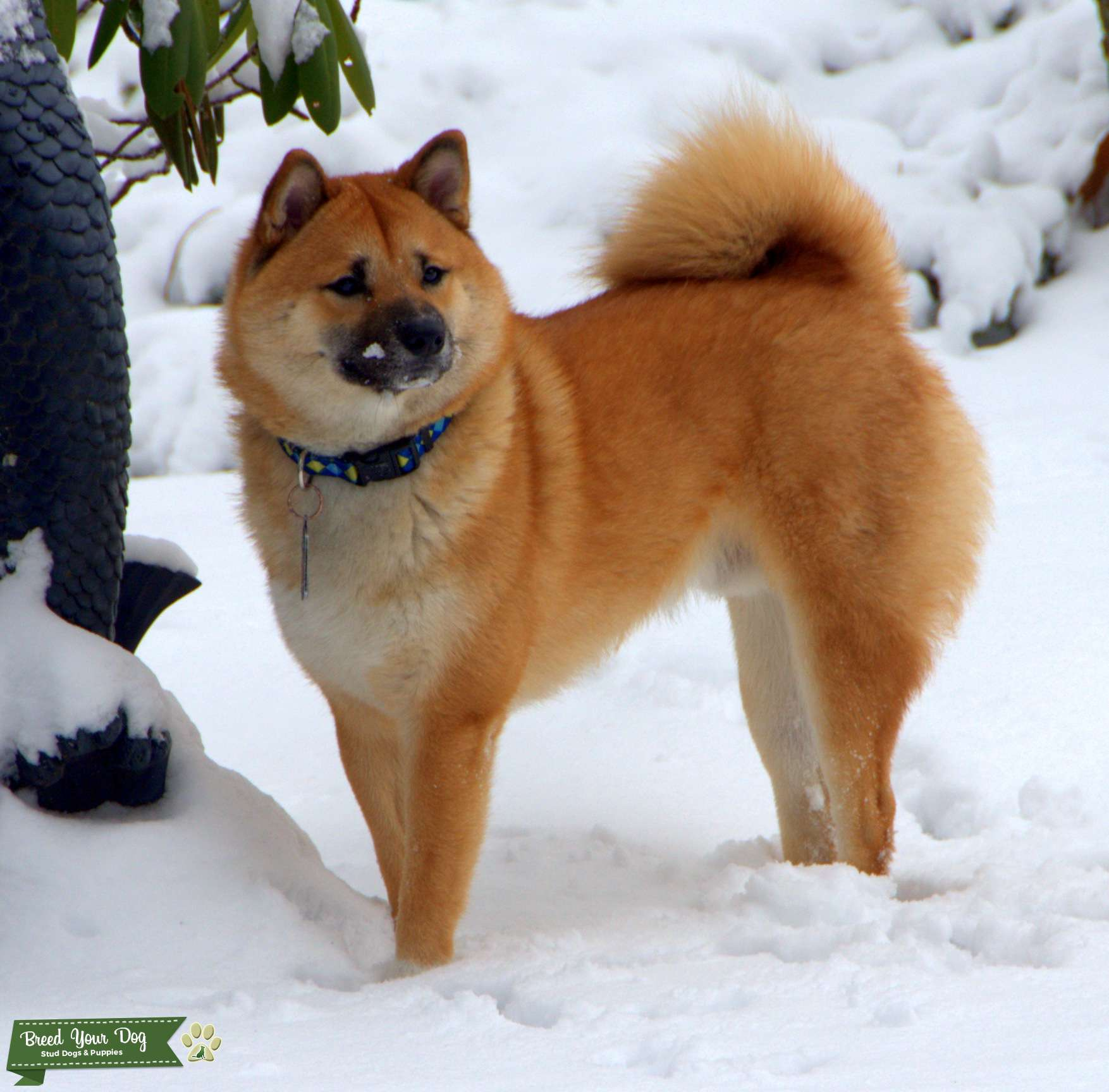 Stud Dog - RED SHIBA INU Hello i am looking for a ...