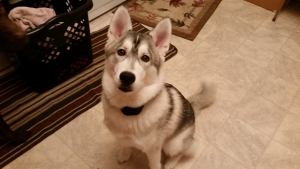 Male Siberia Husky Ready to Breed Featured Image