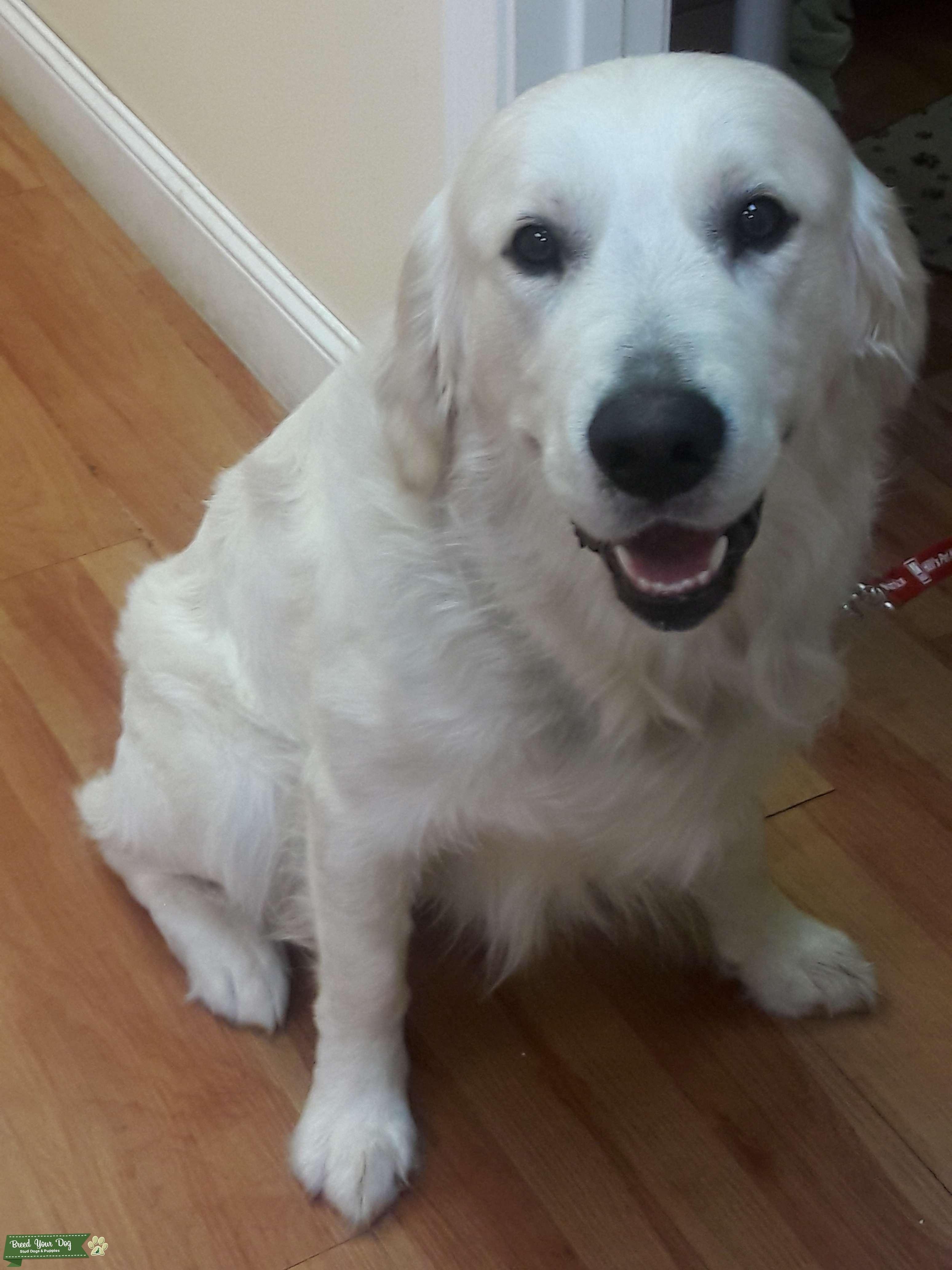 stud dog - english cream golden retriever