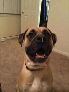 Boxer/ Bullmastiff  Listing Image