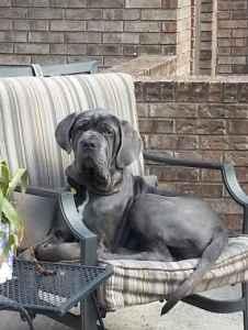 Neopolitan mastiff  Listing Image