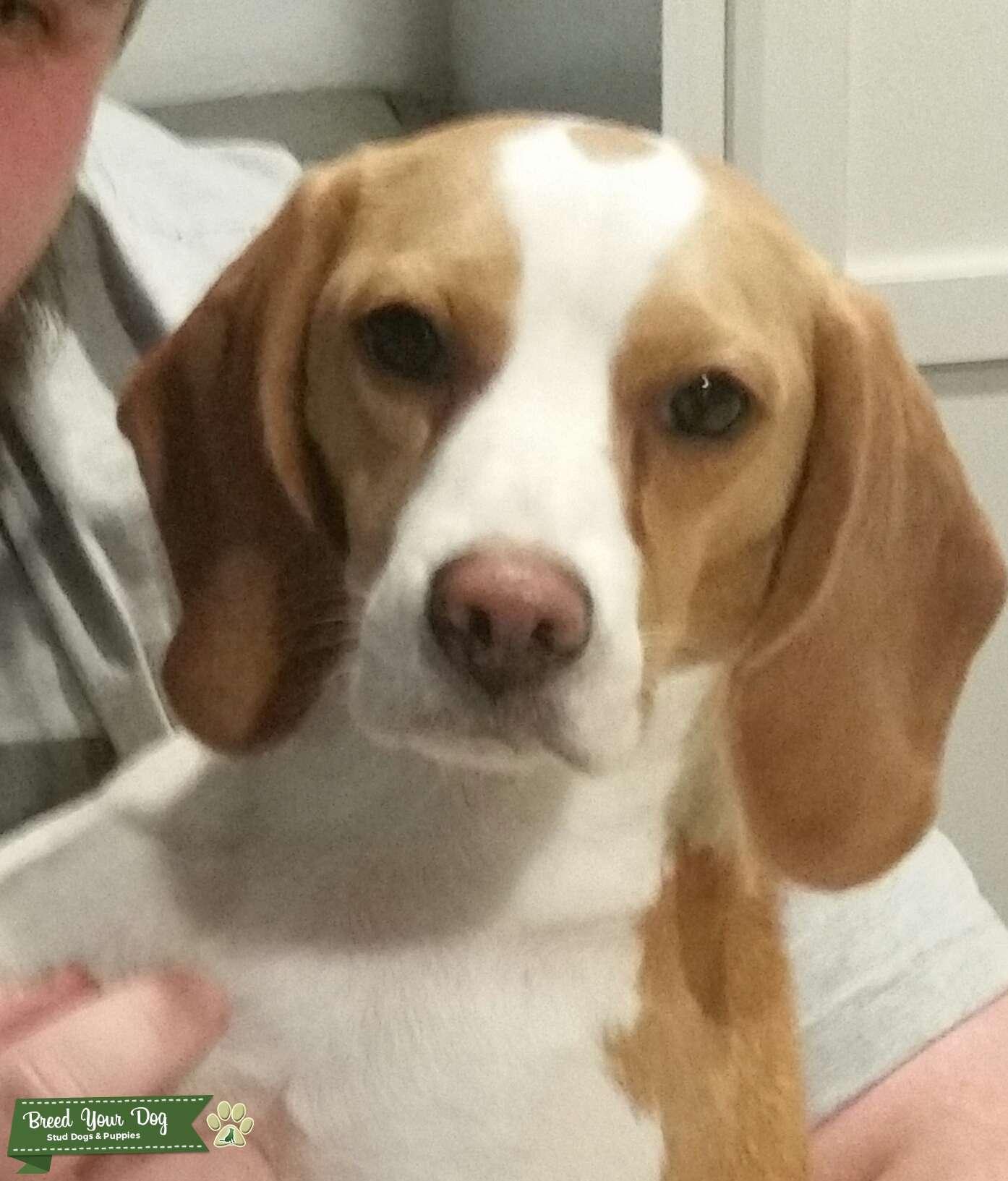 AKC Lemon Beagle Bitch Listing Image Big