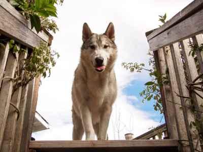 Wolfdog Stud Listing Image