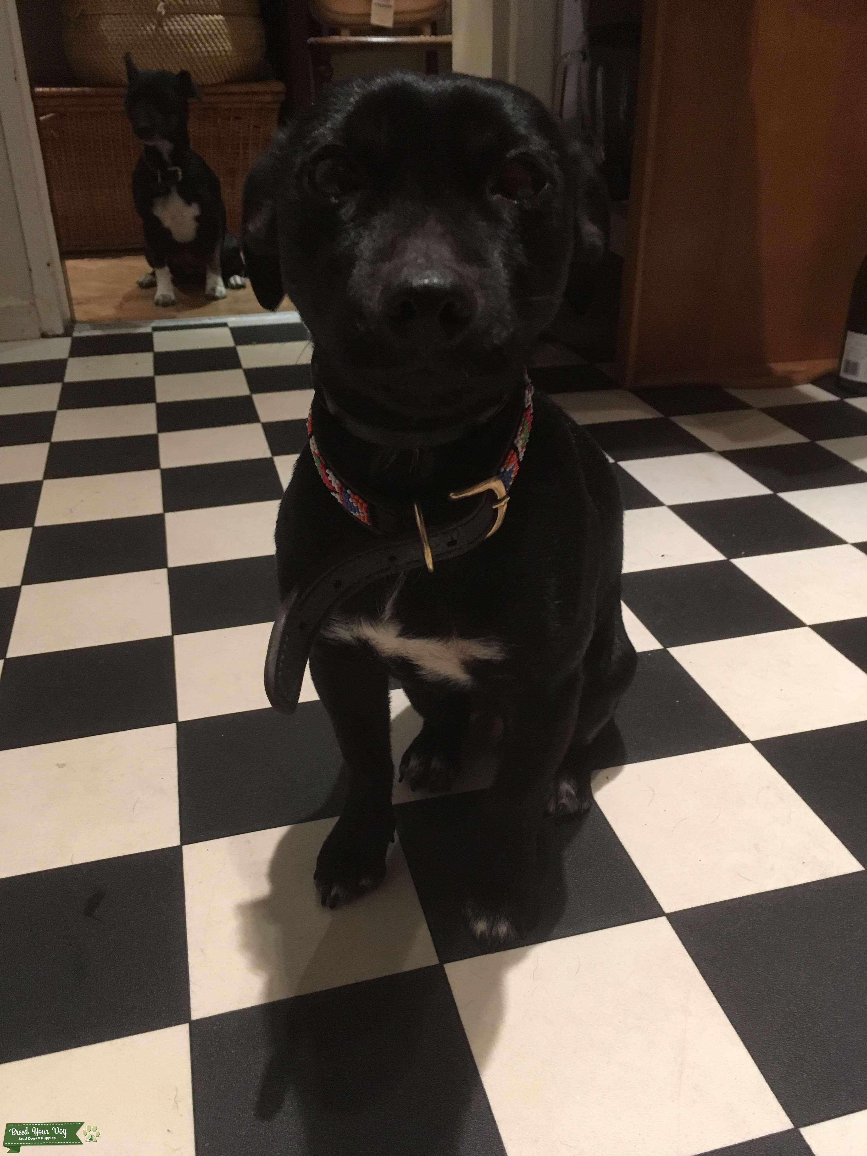 Patterdale dog seeks Patterdale bitch Listing Image Big