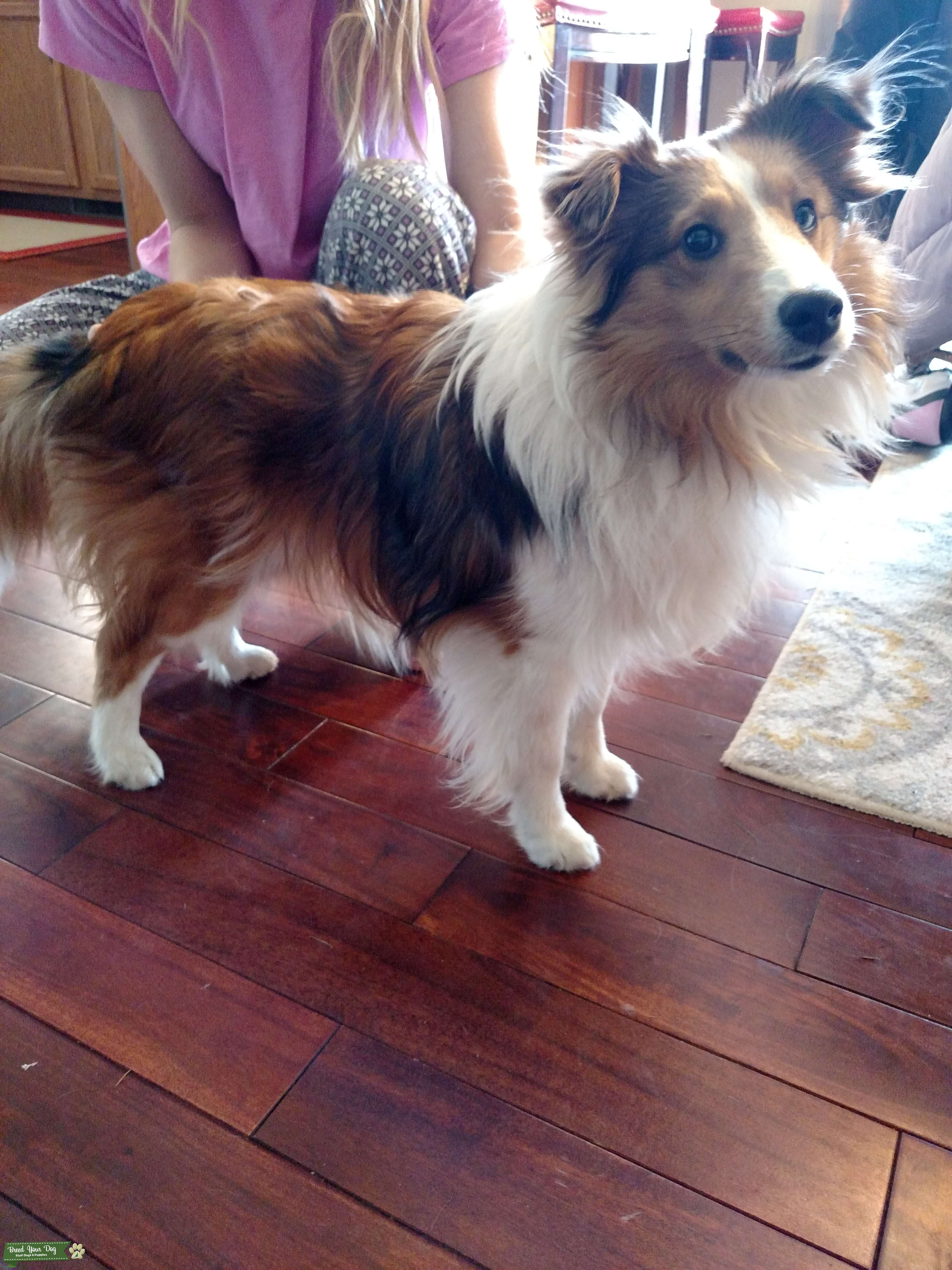 Looking to Stud out my AKC bred Sheltie in Grand Rapids area, Michigan Listing Image Big