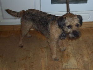 Working Border Terrier Listing Image
