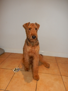 Pedigree Airedale in Sydney with Grand Champion lineage Listing Image