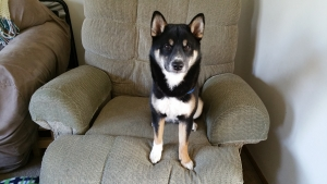 Shiba Inu Black and Tan Listing Image