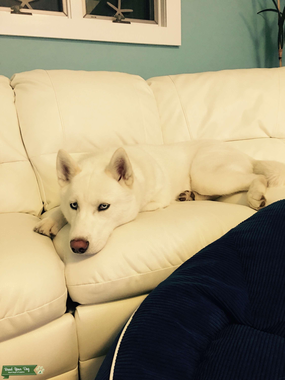 White Siberian husky male ! Listing Image Big