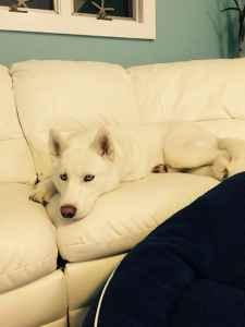 White Siberian husky male ! Listing Image