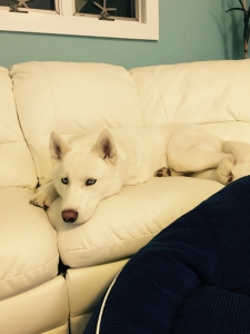 White Siberian husky male ! Listing Image Thumbnail