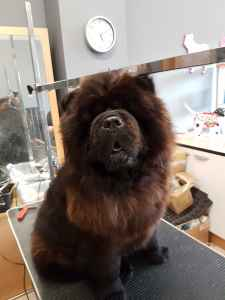 Handsome black chow chow kc reg for stud Listing Image