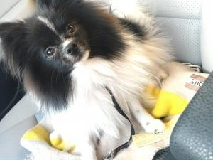 Adorable AKC  Black and White Pomeranian boy Listing Image