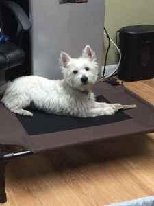 White westhighland terrier  Listing Image