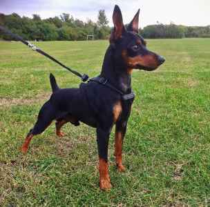 Mini Pinscher stud looking for female Listing Image