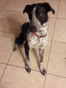 Border collie cattle dog looking to breed Listing Image