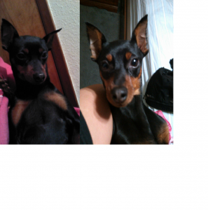 female min pin looking for male min  Listing Image