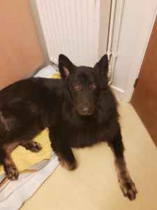 Belgian shepherd male Listing Image