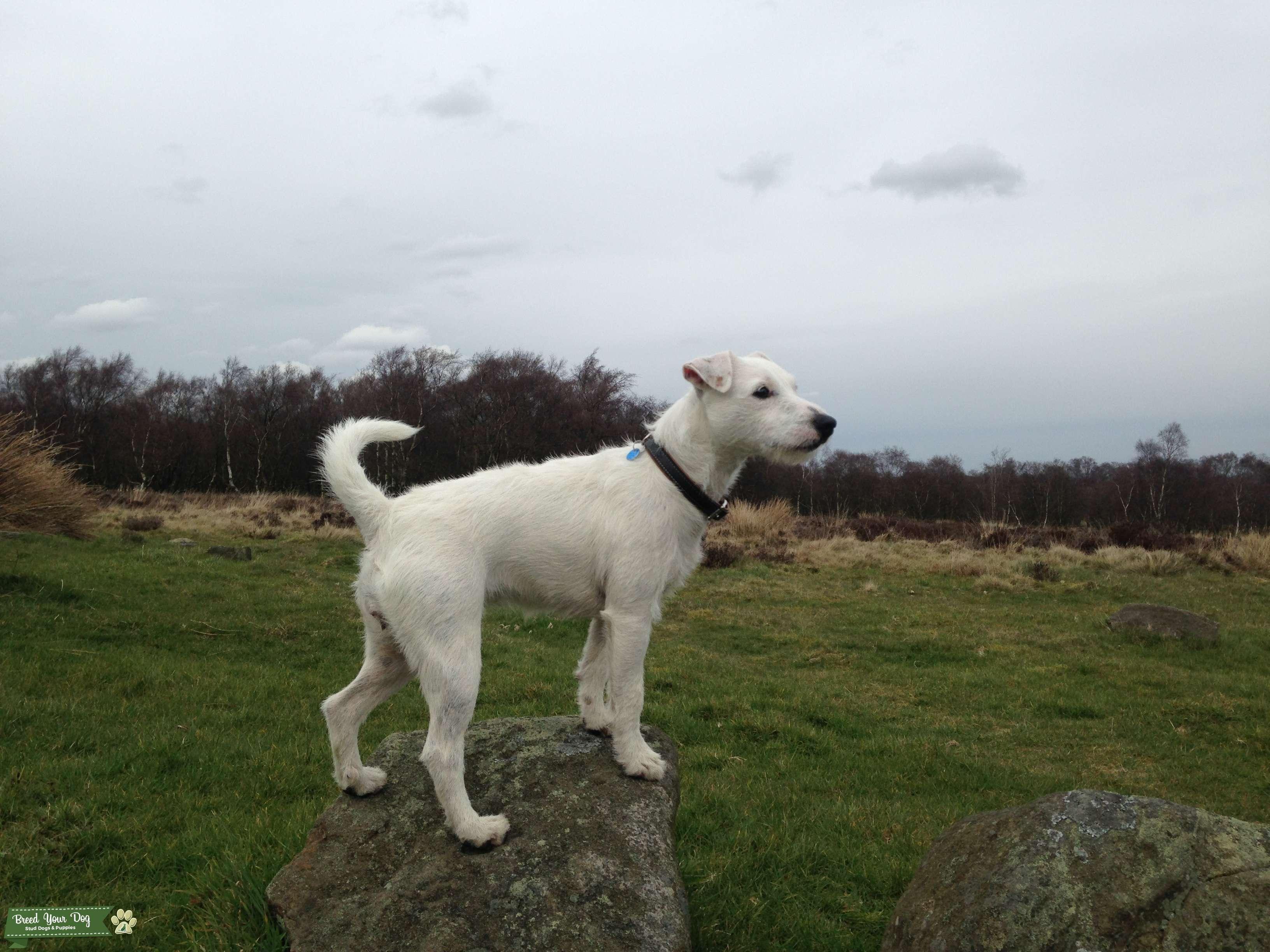 Light broken White Parson Russell Terrier Listing Image Big
