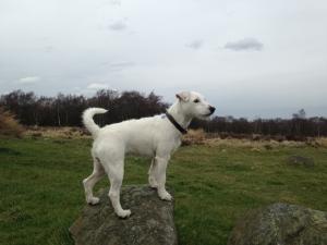 Light broken White Parson Russell Terrier Listing Image Thumbnail