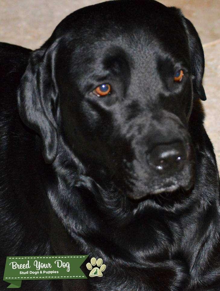 Gorgeous Black Labrador Listing Image Big