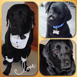 Gorgeous Black Labrador Listing Image Thumbnail