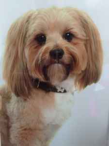Handsome Lhasa apso Listing Image