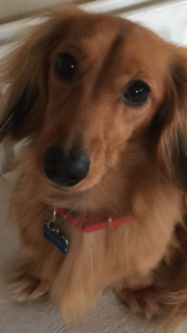 Red/Cream Miniature Long Haired Dachshund available to sire Listing Image