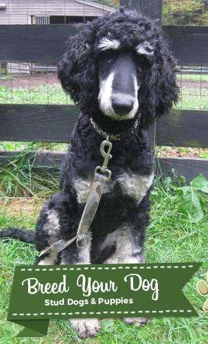 Stud Dog Standard Phantom Poodle Stud Breed Your Dog