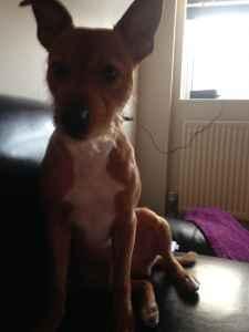 Patterdale terrier stud Listing Image