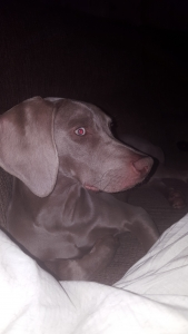 Silver Weimaraner Stud for breading Listing Image Thumbnail