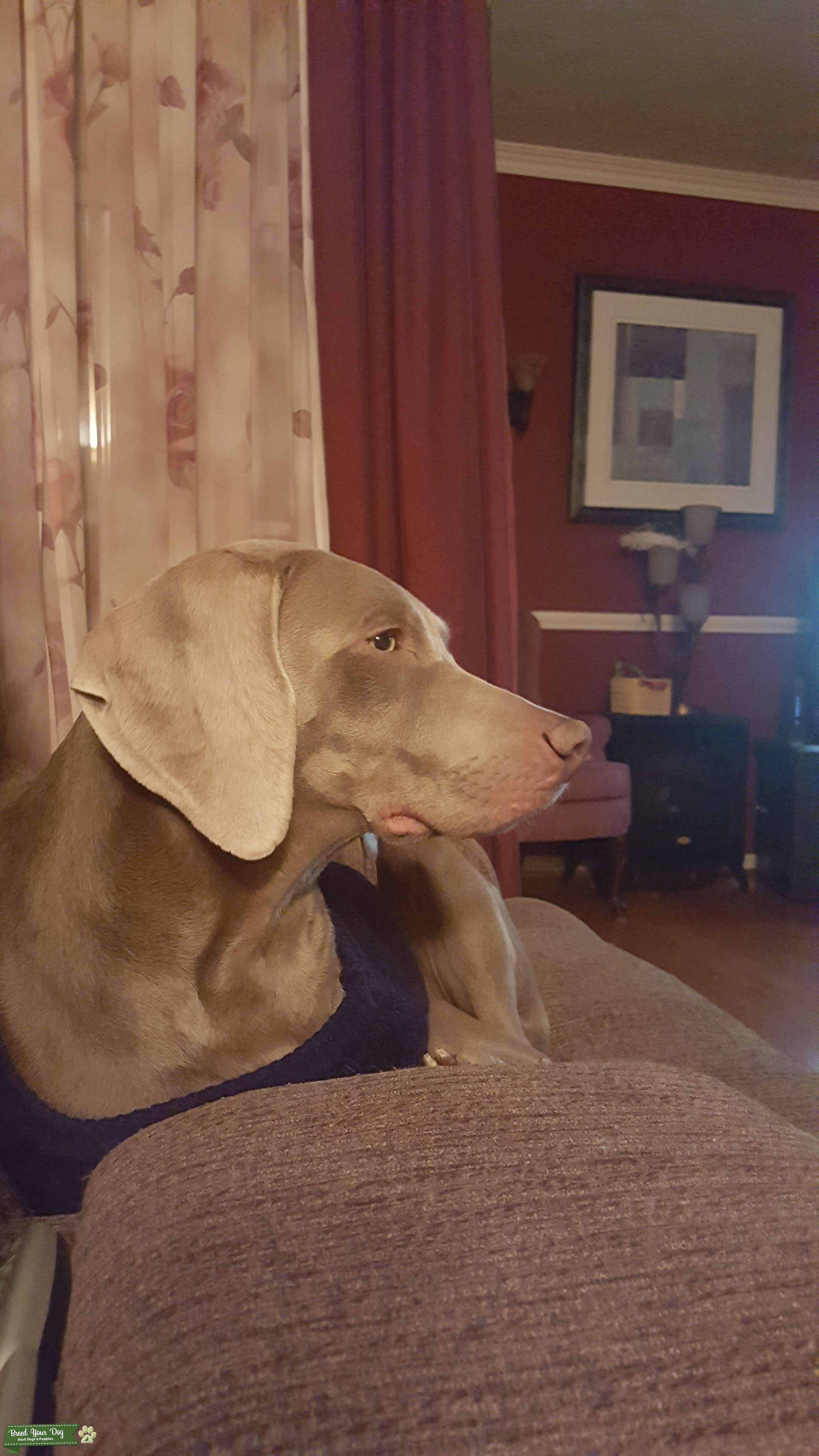 Silver Weimaraner Stud for breading Listing Image Big