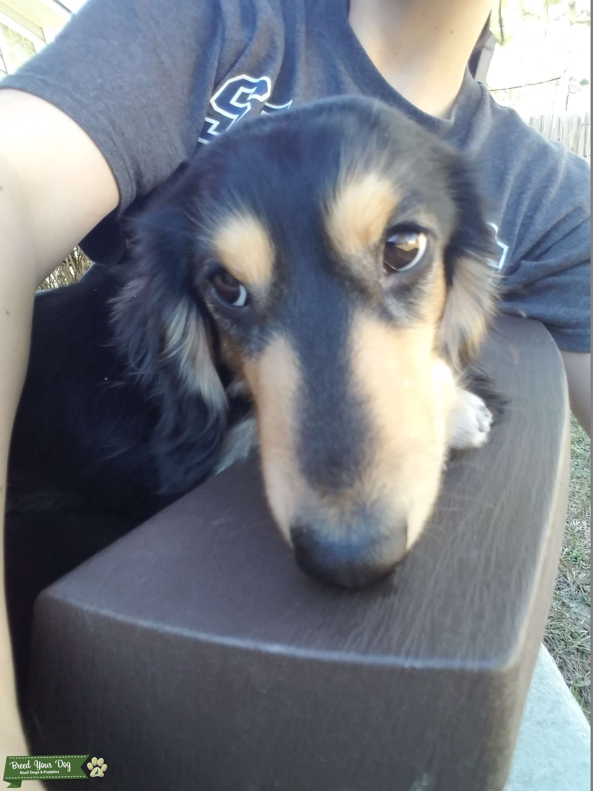 Purebred Miniature Long Haired Dachshund Male Listing Image Big