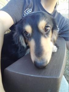 Purebred Miniature Long Haired Dachshund Male Listing Image Thumbnail