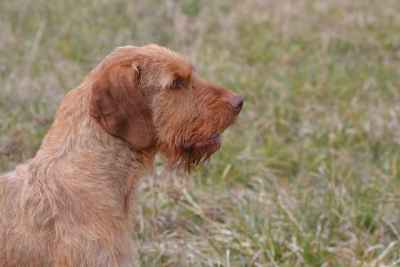 Hungarian Wire Haired Vizsla Stud (Import) Listing Image