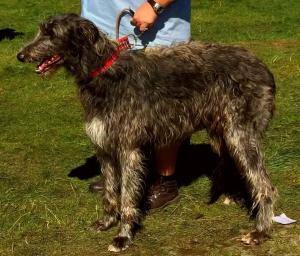 Scottish Deerhound Listing Image