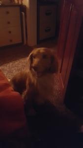 Sprocker dog wanted female Cocker spaniel for breading  Listing Image