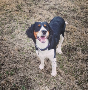 Tri Color English Springer Spaniel Female Listing Image
