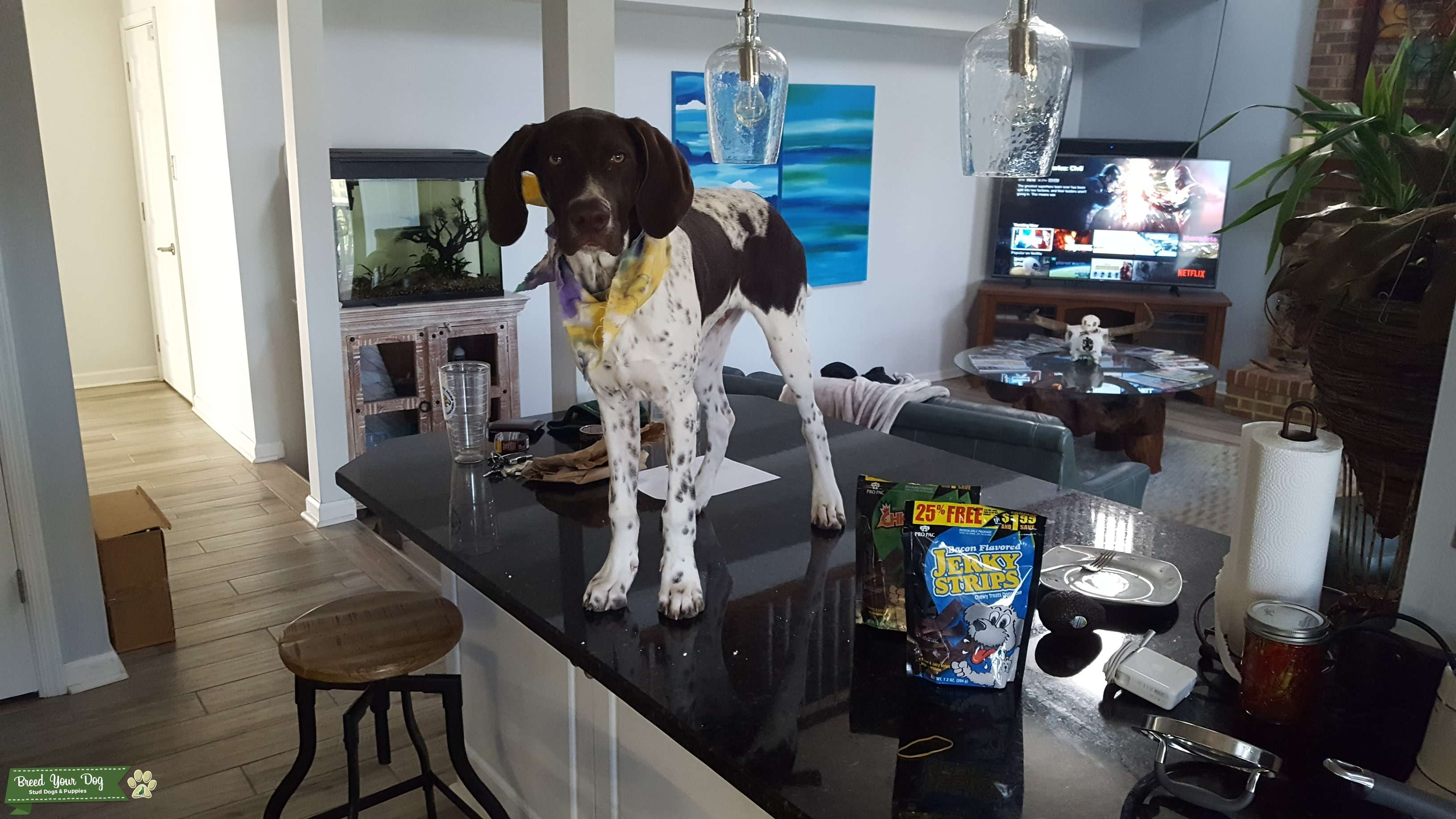 German Shorthaired Pointer Puppies Virginia Beach