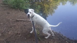 2.7 year old amazing dog looking for mate Listing Image