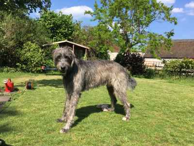 irish wolfhound available for stud Listing Image