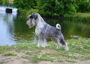 Stud Dog - standard schnauzer Wizard Alarm Beskyd Listing Image