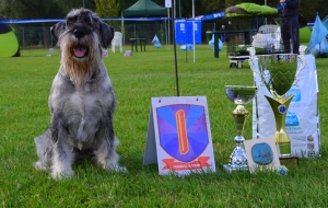 Stud Dog - standard schnauzer Wizard Alarm Beskyd Listing Image Thumbnail