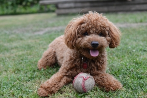 Red Toy Poodle Stud Listing Image