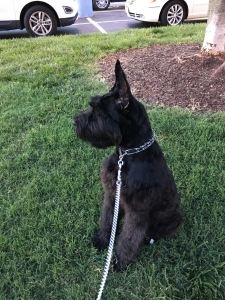Looking for a giant schnauzer male to breed my dog Listing Image