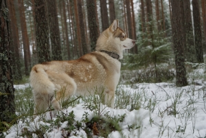 Beautiful husky available for stud Featured Image