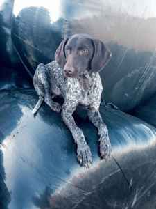 Full pedigree stud German short haired pointer Listing Image