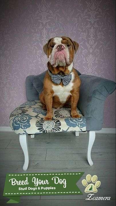 English bulldog for stud Listing Image Big