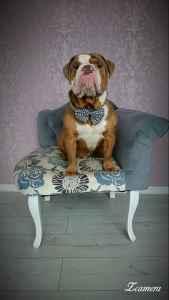 English bulldog for stud Listing Image